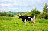 На создание идеальной коровы Билл Гейтс пожертвовал 40 млн долларов