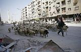 Стадо овец на одной из улиц города Дума, Сирия.