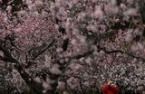 Цветение миндаля в парке в Мадриде.