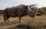Умер последний самец северного белого носорога. Как ученые надеются спасти подвид?