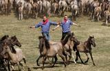 Ловля диких лошадей в Дюльмене, Германия.