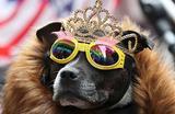 Собака в очках и короне перед визитом королевы Елизаветы и герцогини Сассекской Меган в Честер, Великобритания.