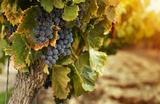 Российских виноделов оставят без льготных акцизов?