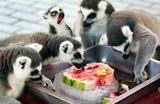Лемуры спасаются от жары ледяным арбузом в зоопарке в Китае.