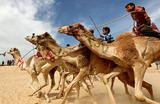 Международные скачки на верблюдах. Исмаилия, Египет.