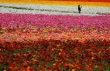 Цветочное поле в Карлсбаде, Калифорния, США.
