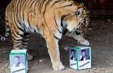 Амурский тигр Бартек пытается предсказать результаты украинских выборов в зоопарке «Роев ручей» в Красноярске.