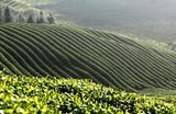 Чайная плантация в китайской провинции Цзянси.