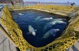 В Росрыболовстве будет решаться судьба «китовой тюрьмы»