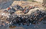 «Произошел катаклизм». В Крыму резко снизилась популяция диких мидий