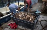 «Это рэкет на государственном уровне». Крымские устричные и мидийные фермы признали экологически опасными