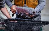 Из-за сокращения улова в России резко подорожал лосось
