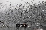 Перелетные птицы в Нью-Дели, Индия.