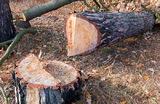 Жителю Краснодарского края грозит до четырех лет за два распиленных дерева