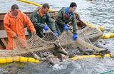 ФАС предлагает ввести аукционы на вылов рыбы вместо квот по «историческому принципу»