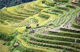 Уборка урожая риса в провинции Гуйчжоу на юго-западе Китая.