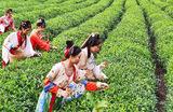 Девушки в традиционных костюмах династии Хань собирают урожай чая в провинции Хэбэй на востоке Китая.
