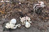 «Масштаб случившегося крайне велик». На побережье Камчатки снова выбросило мертвых морских животных