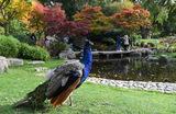 Японский сад в лондонском Холланд-парке.