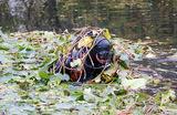 Временная пересадка растений из Капустинского пруда на северо-востоке Москвы. Краснокнижные кувшинки (нимфеи) перевезут в другой водоем на время обновления территории пруда.