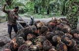 Сбор урожая масличной пальмы для изготовления пальмового масла в Индонезии.